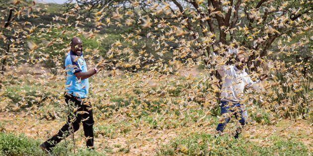 Gräshoppsinvasion slår hårt mot jordbruket