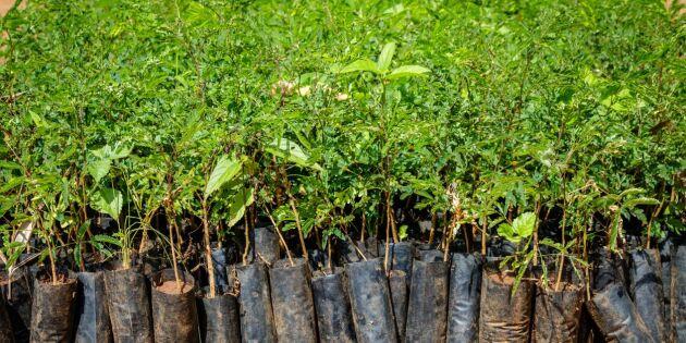 Klimatkompensera med nya träd - en gråzon