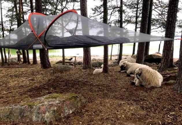 Tälta ihop med unika svartnosfår. Foto: Privat.
