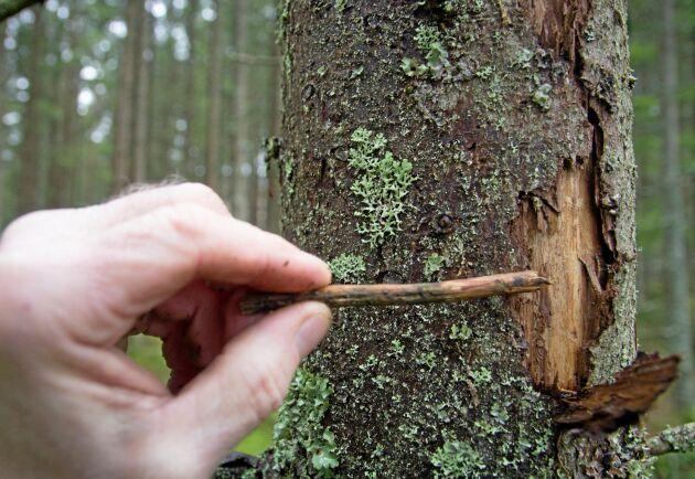 Stickprover från Skogsstyrelsen visar att ovanligt många borrar ligger kvar i träden i stället för att gå till vintervila. Arkivbild.