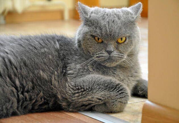 Undrar du var din katt har fått sitt humör ifrån? Då kanske det är dags att ta en titt i spegeln!