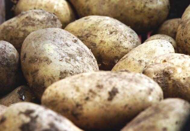 Potatisodlarna flaggar för att det kan bli en brist på potatis i vår. Arkivbild.