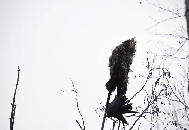 Uven i plast och klädd i fjäder har en kråka i klorna. Rovfåglar som gett sig på en av deras egna får kråkorna att se rött.