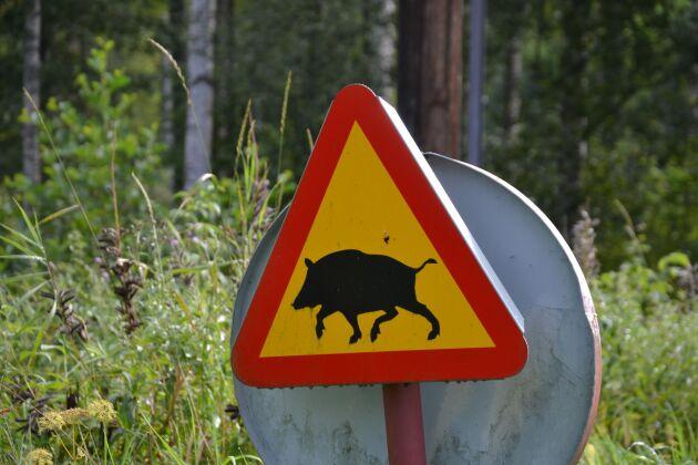 Flera lantbrukare i Halland har problem med vildsvin som förstör åkermark, vilket blivit särskilt tydligt under vårbruket.