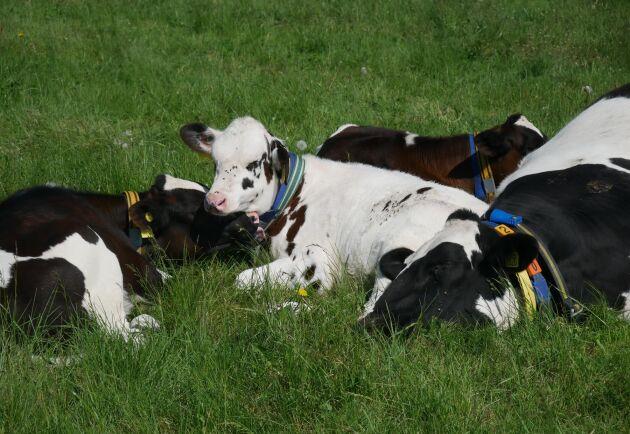 En del kor låter sig gärna dias av fler kalvar, vilket är negativt ur smittsynpunkt. Däremot ser forskarna inte fler spensår på juvren.