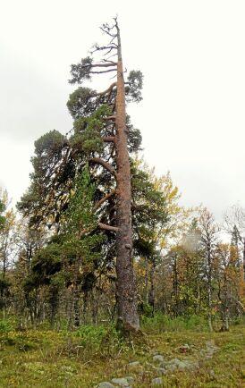 Tallen finns i Långfjällets nationalpark, Grövelsjön Dalarna.