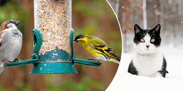 Har du salmonella vid fågelbordet? Testa – och rädda både fågel och katt