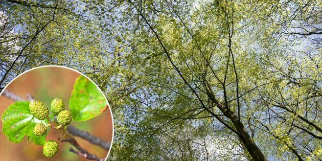 Parasit och varmt klimat hotar vår kära al