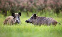 Norrtälje kommun har fått nog av grisarna
