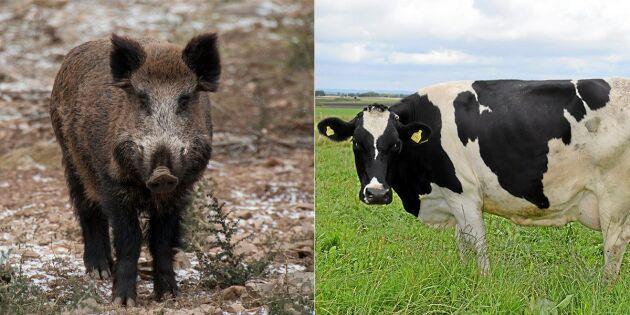 Jägare sköt kor av misstag - trodde det var vildsvin