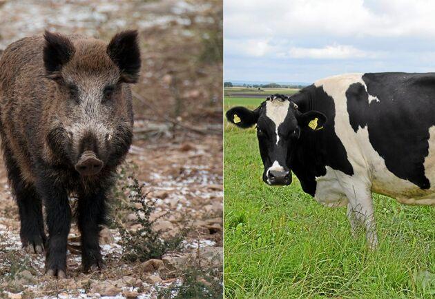 På måndagen hittades en dräktig ko död efter att en jägare misstagit kon för ett vildsvin. (Djuren på bilden har dock ingenting med händelsen att göra).