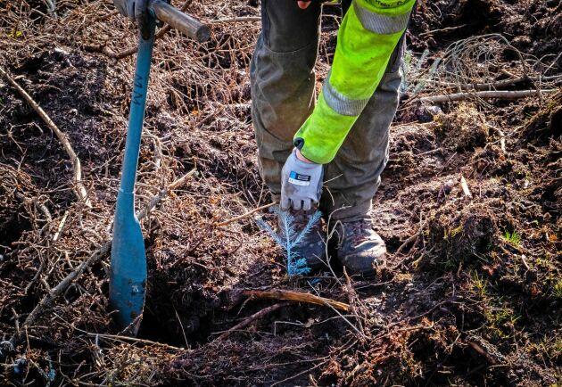 Markberedning, plantering och tall, det är det vanligaste vid föryngring i Sverige. Fast det planteras också en hel del gran, som på bilden.