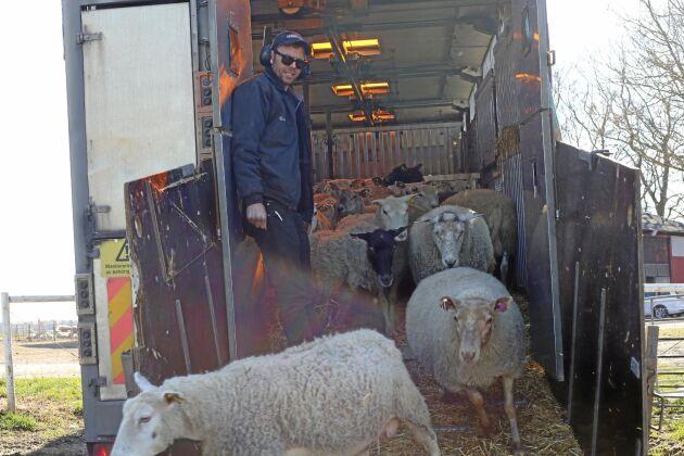 Henrik Andersson Ekes Lamm och Lantbruk släpper ut tackor på bete på före detta Tangará Farm i Hörby.