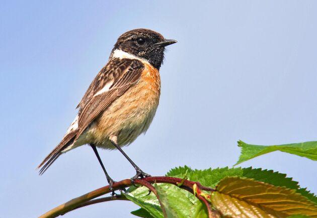 Svarthakad buskskvätta är en art som letat sig norrut på grund av det milda klimatet.