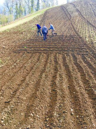 Först när jorden luckrats upp kan potatisen sättas i långa fåror.