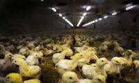 Slättängs gods satsar stort på kyckling