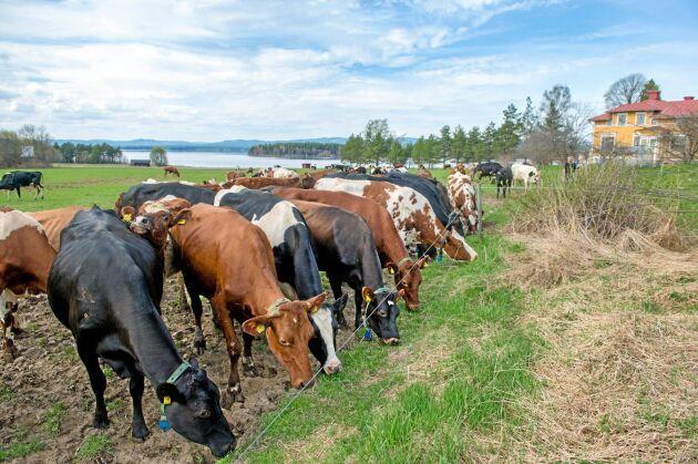 25 procent längre betestid än vad lagen föreskriver var kriteriet för den sommarmjölk som Arla lanserade förra året. Det är också en av de 14 punkter som måste uppfyllas för att få leverera den nya specialmjölken.