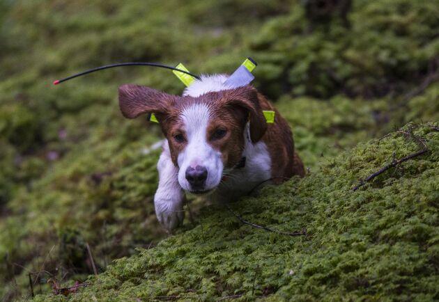 Ute på sök. Den kortbenta drivande hunden letar spår i skogen och om de är tillräckligt färska ger den skall och följer spåren. Den driver.