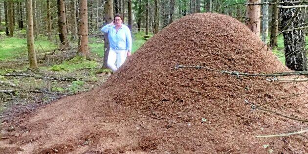Det myllrar av myror i skogen