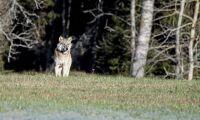 Extra DNA-insamling från varg – så många har hittats