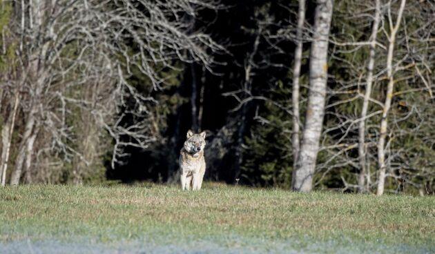 Inventering av varg pågår just nu i Sverige. På bilden den så kallade Södertörnsvargen, som rörde sig i trakterna kring Tyresta nationalpark i södra Stockholm innan den fälldes i januari 2018.