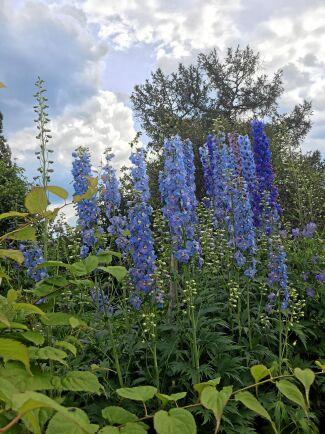 Masseffekten är viktig hos Eva och Lennart Johansson i Nymyran. Här en skog av blå riddarsporrar, en växt som blir extra fin där det finns midnattssol.