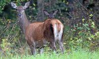 Utökad skyddsjakt på hjort