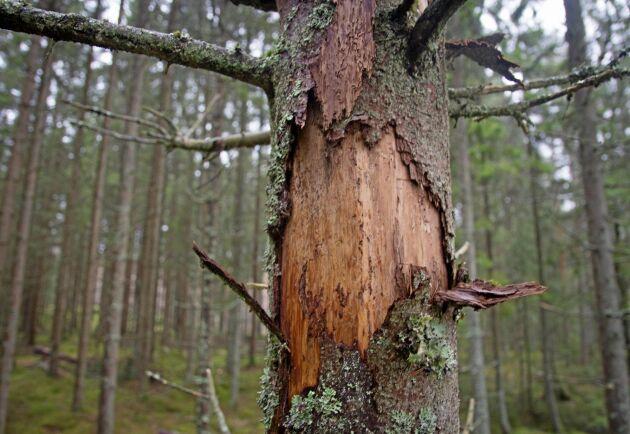 Kampen mot granbarkborren behöver intensifieras i södra Sverige, men i nordliga skogar ser det bättre ut.