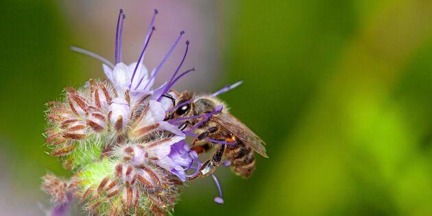 Frönyheter: Blommor som mättar pollinerarna