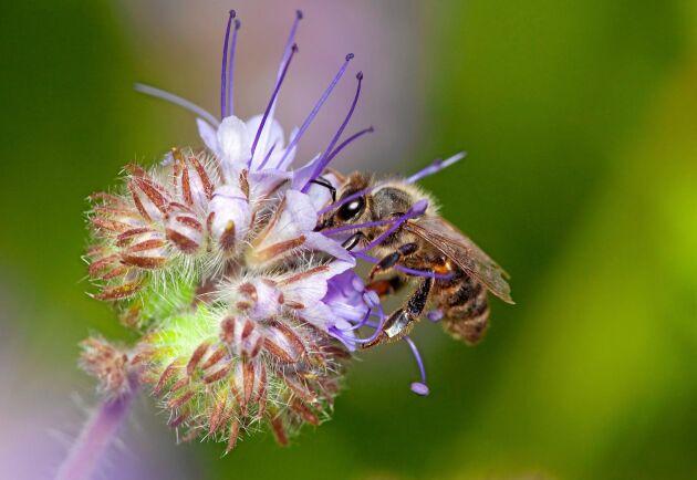 Honungsfacelia, hela kostcirkeln för ett bi eller en fjäril.