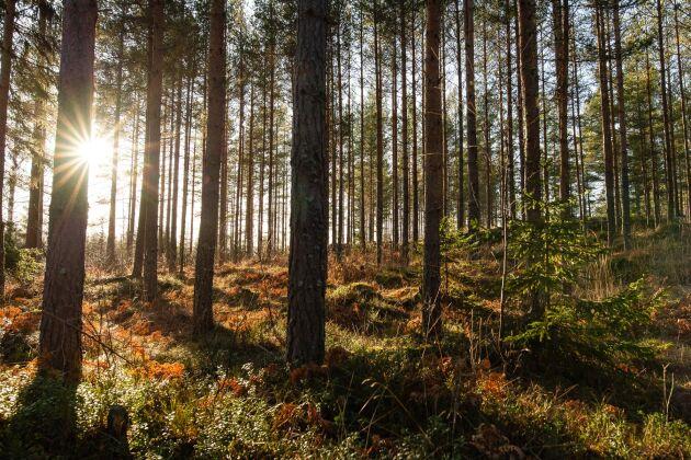95 procent av skogen är enligt skogsbruksplanen avsedd till produktionsskog, vilket motsvarar cirka 1556 hektar, eller 184560 skogskubikmeter.