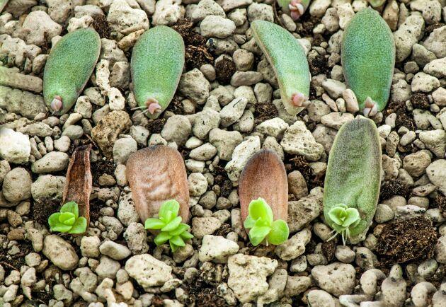 Fetbladiga växter börjar ofta med ett enda blad.