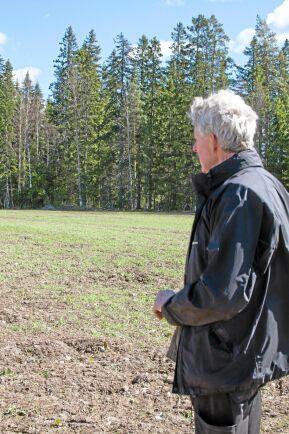 Svedjerågen kommer att bli över två meter hög när den är klar för skörd i augusti.
