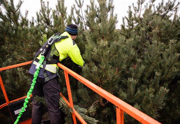 Damian Kwiatkowski och hans kollegor på Frelas Grönservice jobbar under hösten på flera olika förplantager i södra Sverige.