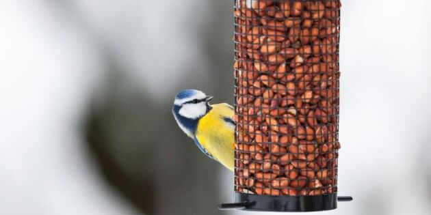 Visst vågar du mata fåglarna – så håller du dem friska