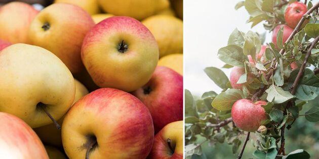 """Sämre äppelskörd än väntat: """"Det är tufft"""""""