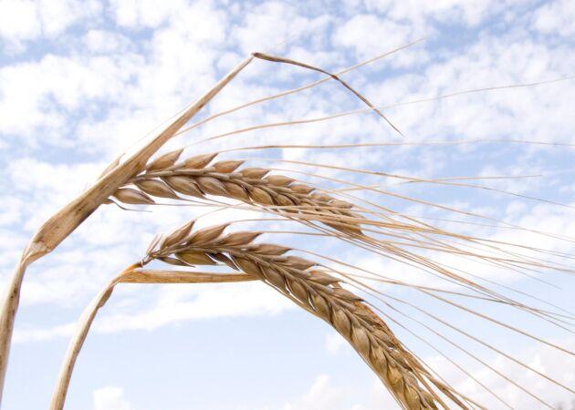Lantmännens skördeprognos visar att årets skörd av spannmål, oljeväxter och trindsäd blir bättre än femårssnittet.