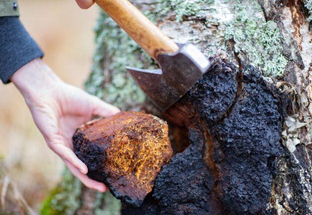 Sprängticka förekommer naturligt i cirka 1 av 5 000 björkar. Den omfattas inte av allemansrätten, så för att bryta, skära eller hugga loss den krävs markägarens tillstånd.