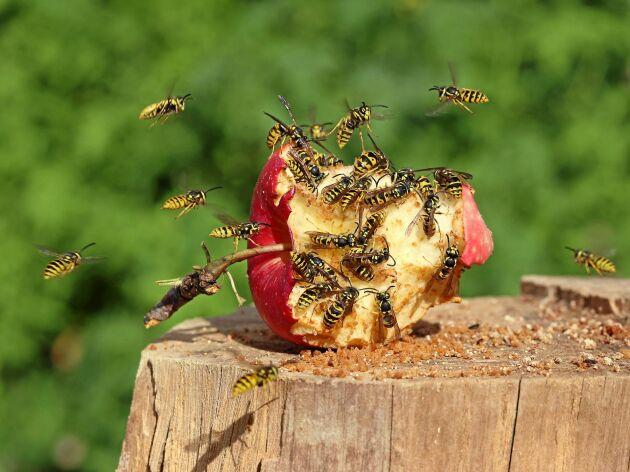Färskt äpple eller jäst? Det kan locka antingen bin eller getingar.