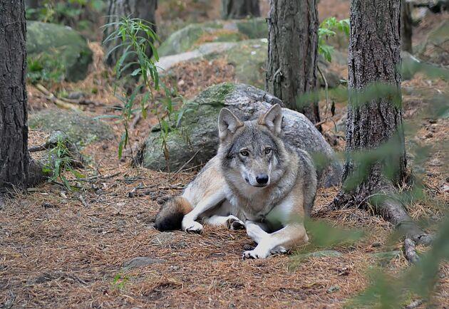 Från politiskt håll måste man skapa bättre förutsättningar för att samexistensen mellan varg och fårägare ska fungera, menar Claudia Dillman vid Svenska Fåravelsförbundet.