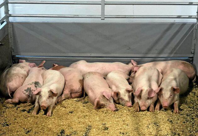 Det rörliga golvet som kommer att rulla hos kinesiska grisproducenter.