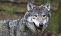 Fler vargar i Västerbotten