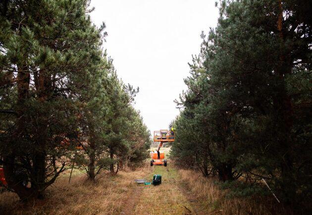 """Träden beskärs bland annat för att det ska vara lättare att plocka, men också för att producera mera. """"Träd som beskärs blir stressade och sätter lite mera kott"""", säger Bengt Svensson."""