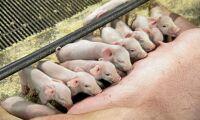 Liten insikt om resistens vid foderförbudet