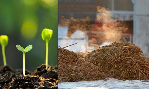 Ångande varm gödsel är grunden till en smart tjuvstart på odlingen.