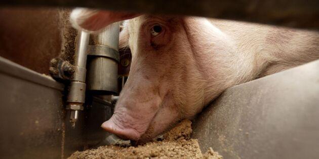 Här är världens största grisföretag