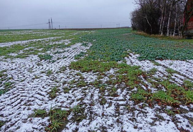 Oväntad effekt. Ogräsmedel har legat kvar i marken på grund av torka. Det tog död på stora delar av det nysådda rapsfältet.