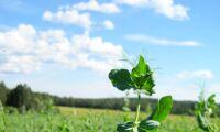Kraftig ökning av ärtbladlöss