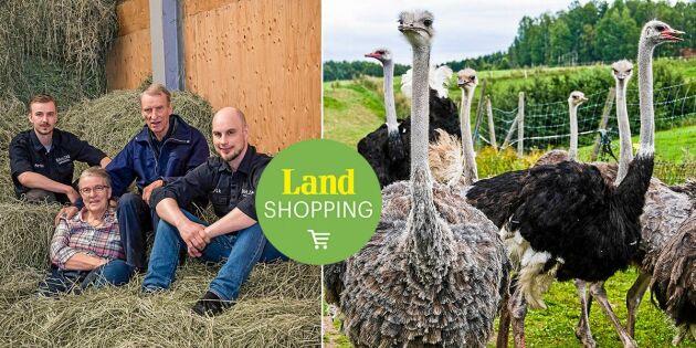 Förälskad i struts! 150 kilo fågel tog mjölkbönderna med storm