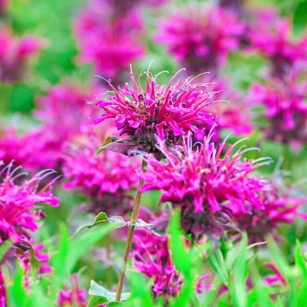 Temynta (Monarda didyma) är trots sitt namn inte en mynta och sprider sig inte. Används som te, gärna tillsammans med andra kryddväxter som riktiga myntor, citronmellis, cintronverbena. Vacker insektsdragare. De flesta kryddväxter kräver full sol och är torktåliga när de väl etablerat sig. Foto: IBL.